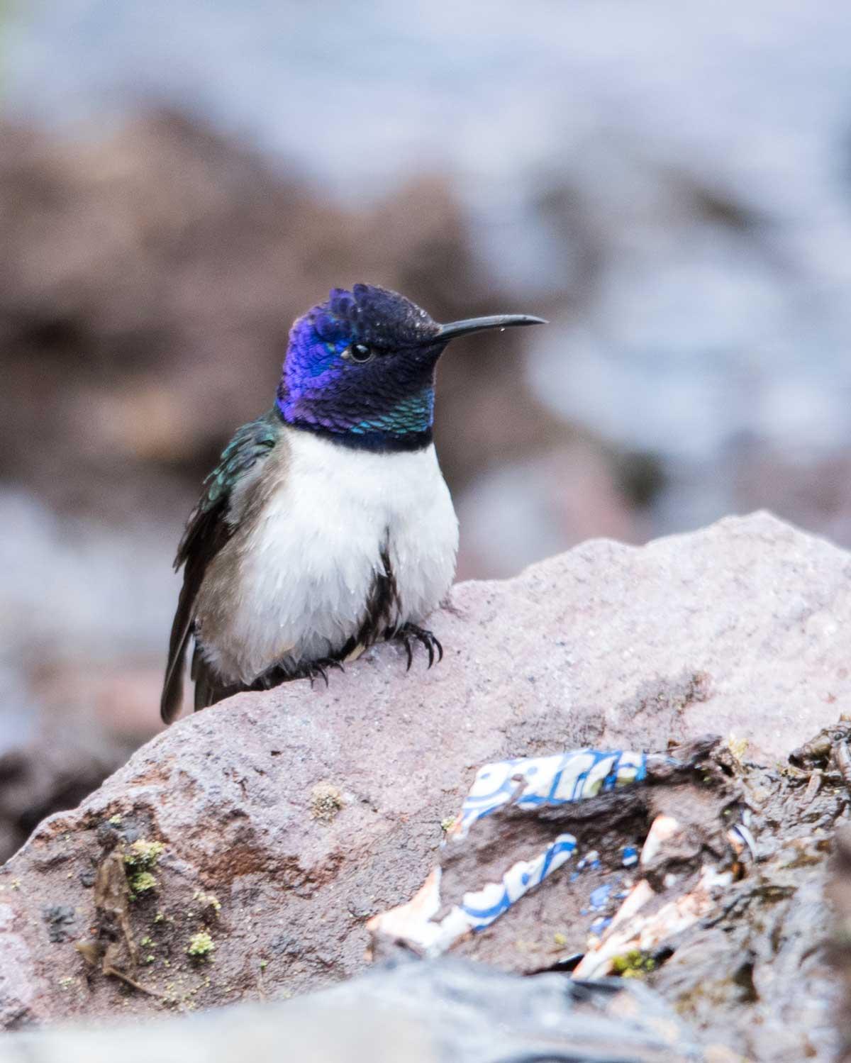 The Ecuadorian Hillstar, Chimborazo variation; Chimborazo Wildlife Reserve, Ecuador | ©Angela Drake