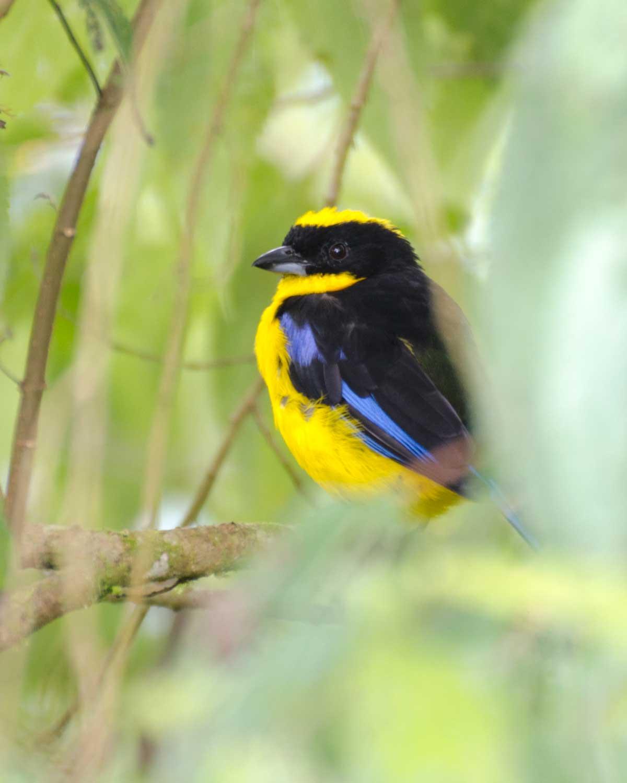 Blue-winged Mountain Tanager, Bellavista Cloud Forest Reserve, Tandayapa Valley, Ecuador