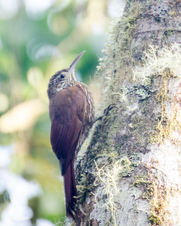 Strong-billed Woodcreeper, Bellavista Cloud Forest Reserve, Tandayapa Valley, Ecuador