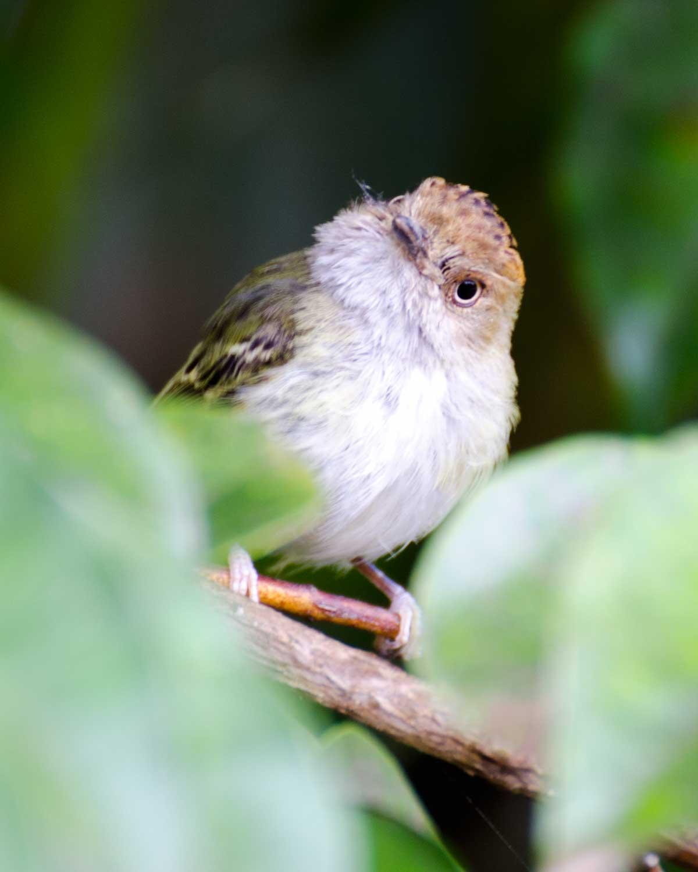 Scale-crested Pygmy Tyrant, Mindo, Ecuador | ©Angela Drake