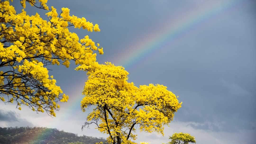 Guayacanes and Rainbow; Mangahurco, Ecuador   ©Angela Drake