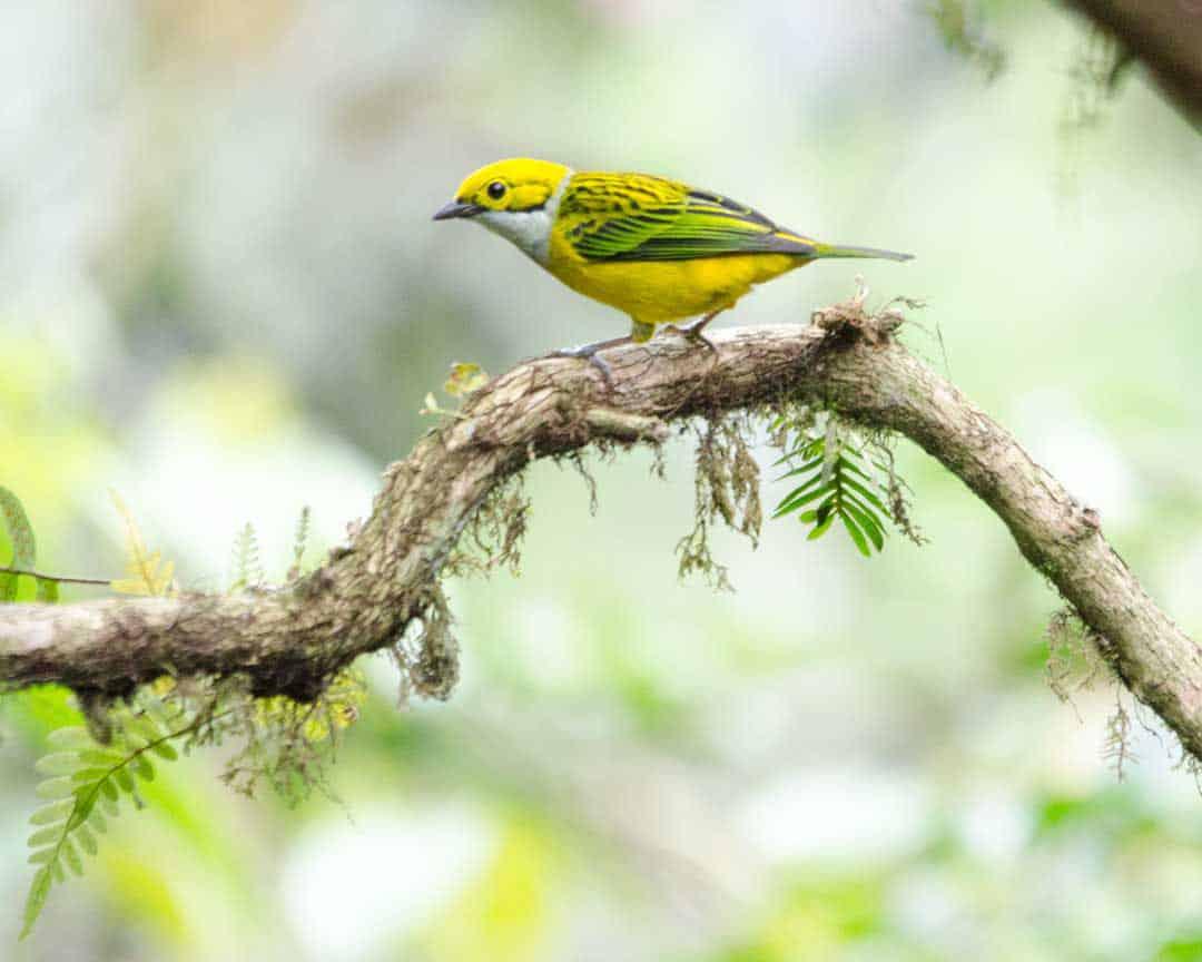 Silver-throated Tanager, Alambi Reserve, Nanegalito, Ecuador   ©Angela Drake