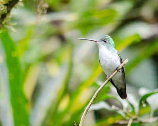 Andean Emerald, Alambi Reserve, Nanegalito, Ecuador   ©Angela Drake