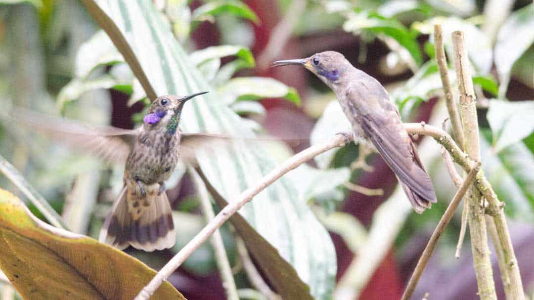 Agitated Brown Violetear hummingbirds, Alambi Reserve, Nanegalito, Ecuador