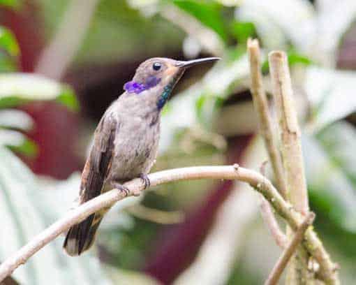 Brown Violetear; Alambi Reserve, Nanegalito, Ecuador   ©Angela Drake