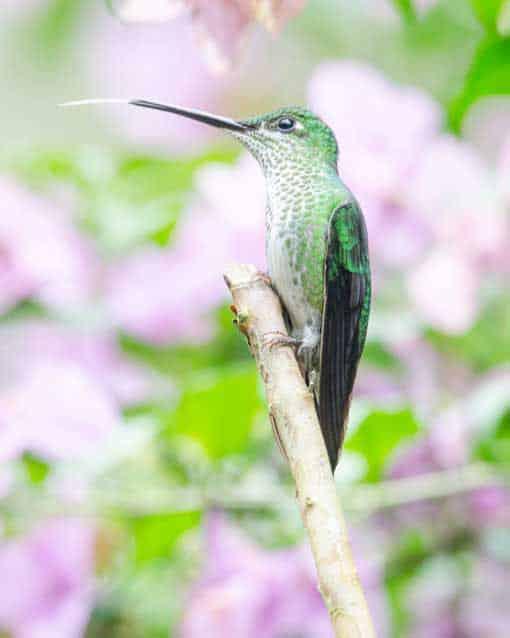 Green-crowned Brilliant hummingbird, female; Alambi Reserve, Nanegalito, Ecuador