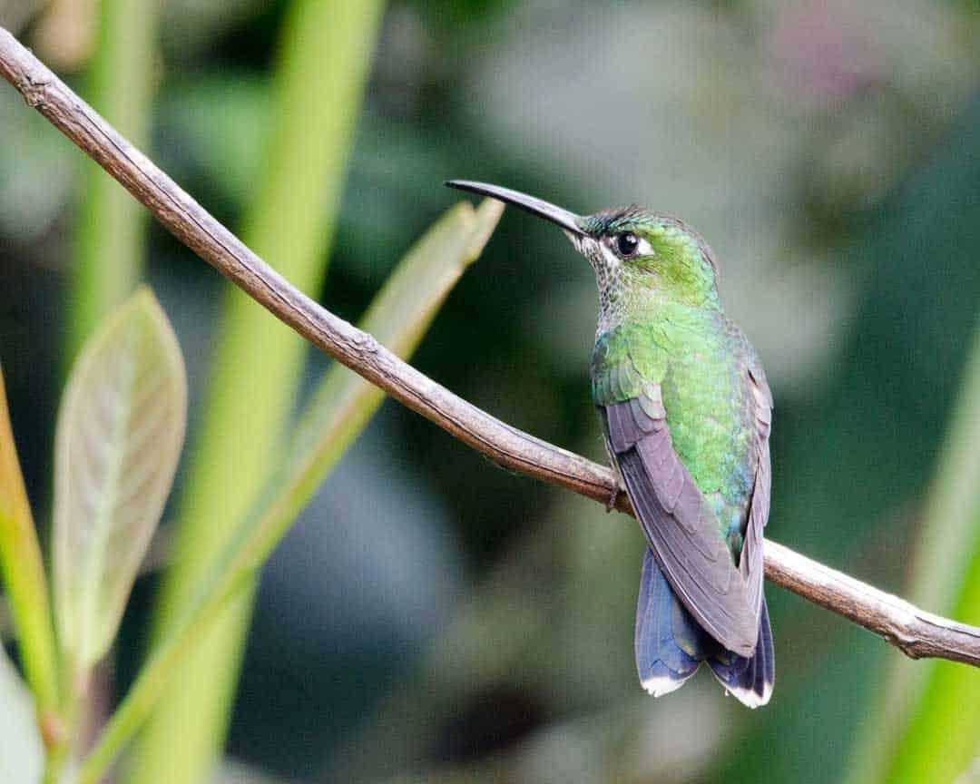 Green-crowned Woodnymph, female; Alambi Reserve, Nanegalito, Ecuador