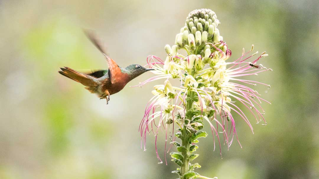 Chestnut-breasted Coronet Hummingbird; Guango Lodge, Papallacta, Ecuador | ©Angela Drake