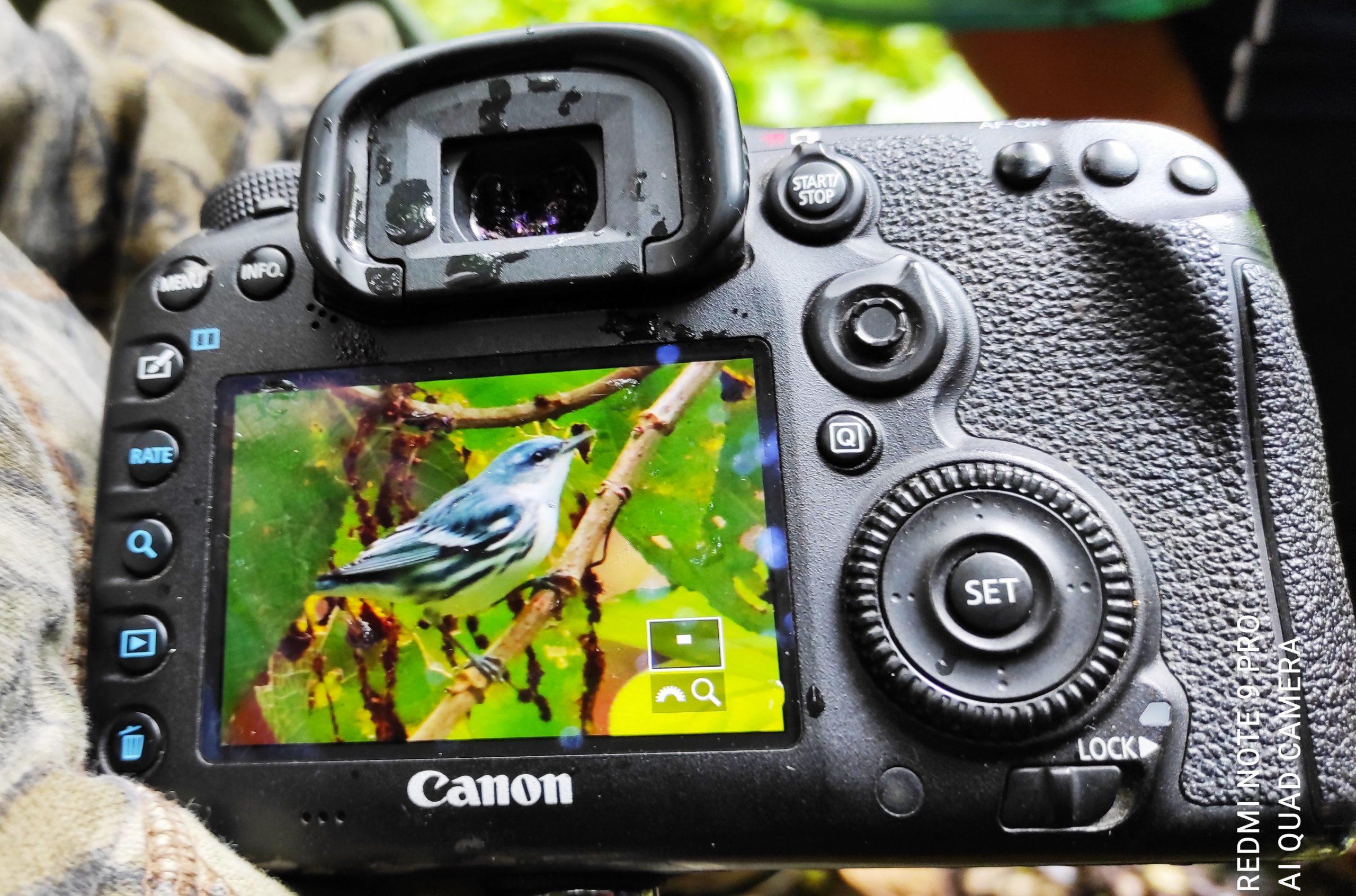 Cerulean Warbler , Setophaga cerulea| ©Jacqueline Granda